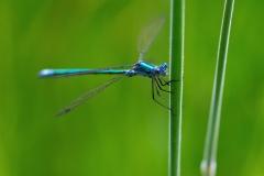 """Torsten - """"Libelle in Blau I"""""""