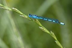 """Torsten - """"Libelle in Blau II"""""""