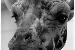 """johannes - """"giraffe 1"""""""